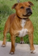Staffordshire Bull Terrier, 1 year, Brown